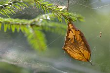 Free Leaf Trapped In Spider Web Stock Photo - 26691290