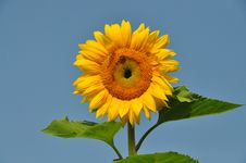 Free Sunflower 2 Stock Photo - 26692110