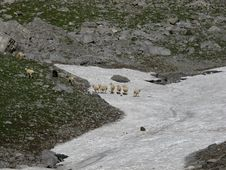 Free Sheep Herd On A Snowfield Stock Image - 26692121