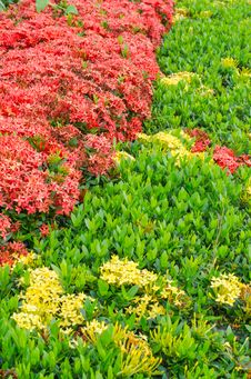 Free Red Ixora Background Royalty Free Stock Images - 26696859