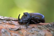 Free The Rhinoceros Beetle Royalty Free Stock Images - 26697119