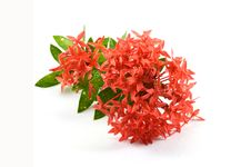 Free Red Ixora Stock Photography - 26697532