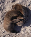 Free Baby Sea Lions Royalty Free Stock Photography - 2675587
