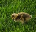 Free Gosling Royalty Free Stock Photo - 2676585
