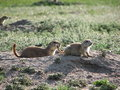 Free Prairie Dogs Royalty Free Stock Images - 2679539