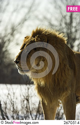 Free Young Male Lion In The Snow Stock Images - 2670514