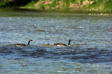 Family Of Canada Geese Royalty Free Stock Photos