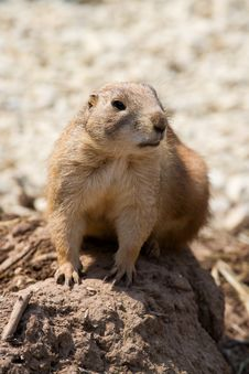 Free Prairie Dog Royalty Free Stock Photos - 2670338