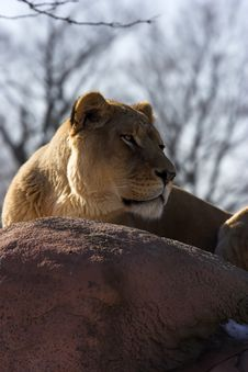 Free Lioness On Rocks Royalty Free Stock Image - 2670506