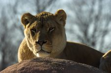 Free Lioness Resting Stock Image - 2670521