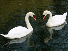 Free Swans Royalty Free Stock Images - 2670529