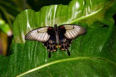 Free Black And Grey Butterfly On Le Stock Image - 2670601