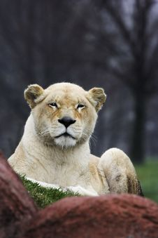 Free Lioness Sitting On Grass Stock Image - 2670701