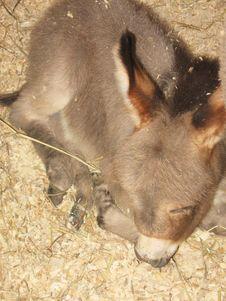 Baby Donkey Royalty Free Stock Image