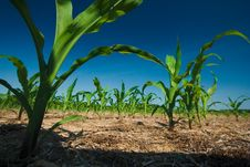 Free Corn Field Growing Stock Image - 2671061