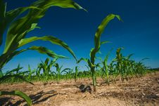 Free Corn Field Growing Stock Image - 2671091