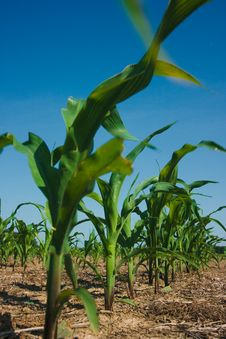 Free Corn Field Growing Royalty Free Stock Photography - 2671177