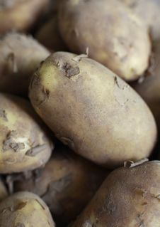 Free Organic Jersey Potatoes Royalty Free Stock Image - 2671246