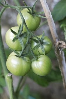 Free Unripe Homegrown Tomatoes Royalty Free Stock Image - 2671356