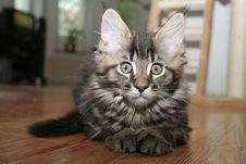Free Small Kitten Royalty Free Stock Photo - 2671815