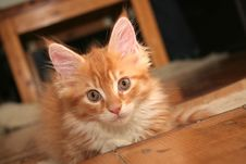 Small Kitten Stock Photography
