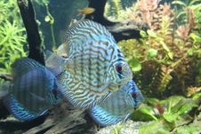 Free Discus Fish Royalty Free Stock Photos - 2672368