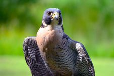Free Peregrine Falcon Stock Image - 2673091