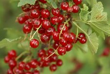 Free Red Currant Stock Photo - 2673600