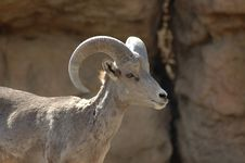 Free Bighorn Sheep Royalty Free Stock Photo - 2673715