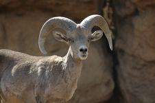 Free Bighorn Sheep 3 Stock Image - 2673721