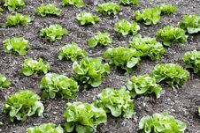 Butterhead Lettuce Stock Image