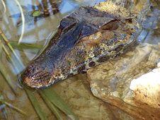 Free Crocodile Stock Images - 2673884