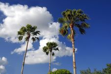 Free Palm Trees Royalty Free Stock Image - 2674036