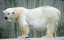 Free Polar Bear 2 Stock Photo - 2674910