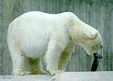 Free Polar Bear 6 Stock Images - 2675124