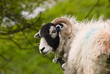 Free Cute Swaledale Sheep Royalty Free Stock Photos - 2676488