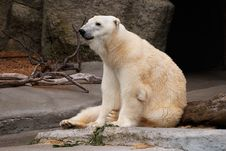 Free Polar Bear Royalty Free Stock Image - 2676676