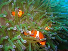 Free Tropical Clown Fish Royalty Free Stock Photo - 2677565
