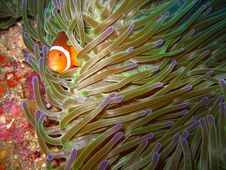 Free Tropical Clown Fish Stock Image - 2677731