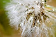 Free Close Up Of Small Dandelion Stock Photography - 2677912