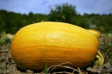 Big Yellow Pumpkin Stock Images
