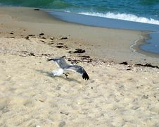 Free Seagull Royalty Free Stock Image - 2678396