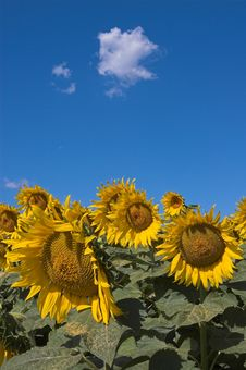 Field Of Bloomed Sunflowers Stock Images