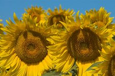 Free Bloomed Sunflowers Stock Photography - 2678812
