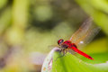 Free Dragonfly Royalty Free Stock Photography - 26701887