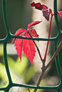 Free Red Autumn Leaves Royalty Free Stock Photography - 26703217