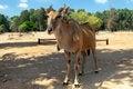Free Eland Antelope Royalty Free Stock Image - 26705716