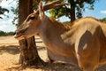 Free Kanna Antelope Stock Photography - 26705722