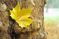 Free Yellow Autumn Leaf Stock Photography - 26703692