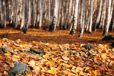 Free Fallen Autumn Leaves In Birch Forest Royalty Free Stock Photo - 26704145